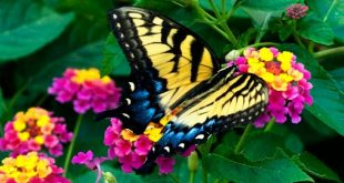 sunrise rose lantana. butterfly magnet. great for my front yard that gets HOT ...