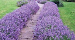 Lavendel 'Hidcote' #hidcote #lavendel