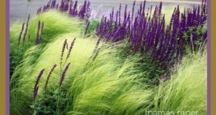 [Oh, what a little purple can do, to compliment ornamental grasses!] Landschaftsgestaltung von Thomas Rainer